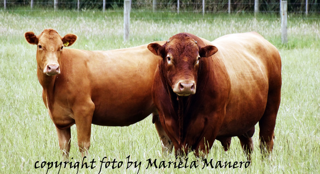Limousin Cattle from France