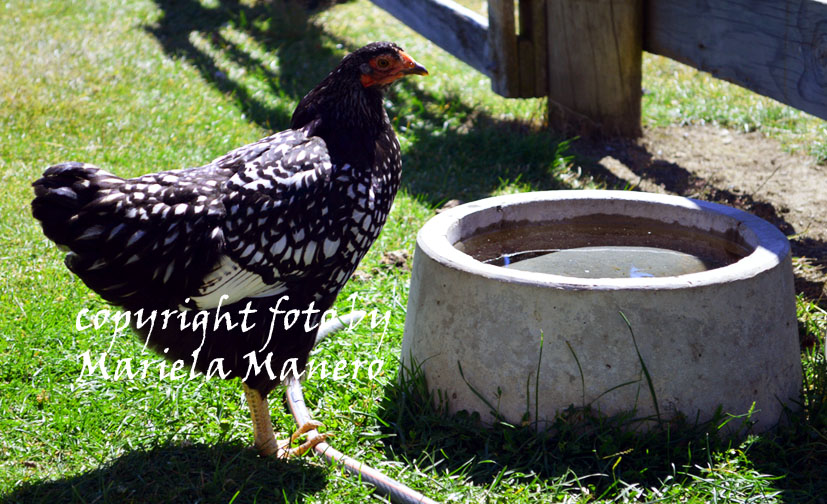 Wyandotte – The first hen in New Zealand