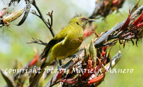 Bellbird in New Zealand  ( Anthornis melanura )